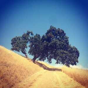 Picturesque Oak tree on Mount Wanda at John Muir NHS