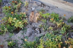 Mexican Ground Squirrels