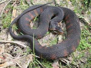 Native banded water snake (Nerodia fasciata) Photo Source: srelherp.uga.edu