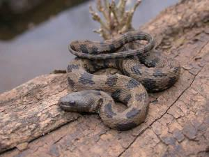 Native brown water snake (Nerodia taxispilota) Photo Source: srelherp.uga.edu