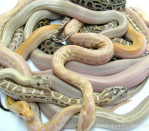 Non-native, invasive Burmese python color morphs found in the exotic pet trade. Photo Source: usark.org