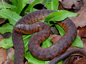Native green water snake (Nerodia cyclopion) Photo Source: srelherp.uga.edu
