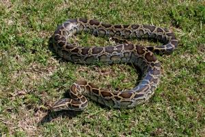 Non-native, invasive Burmese python (Python molurus bivitattus)