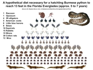 Hypothetical Burmese python diet to reach 13-feet at Everglades National Park.
