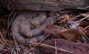 Native water moccasin or cottonmouth (Agkistrodon piscivorus) Photo Source: srelherp.uga.edu