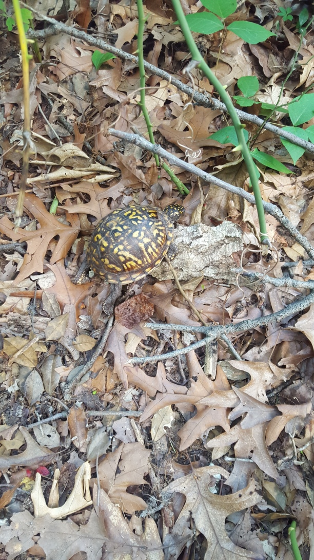 Eastern box turtle walking by the Sunken Forest trail at Sailors Haven