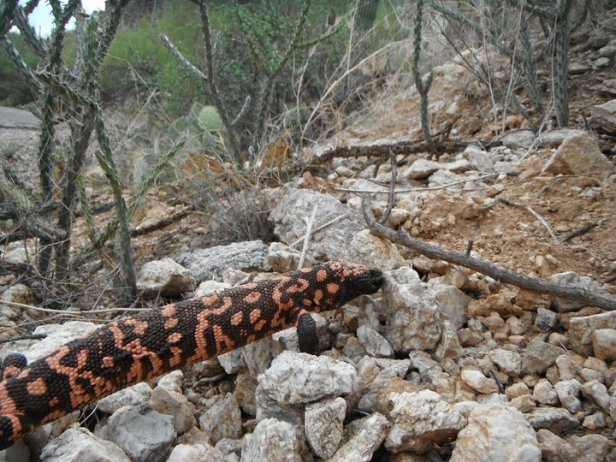 gila monster in Sabino