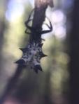 micrathena-orbweaver-spider