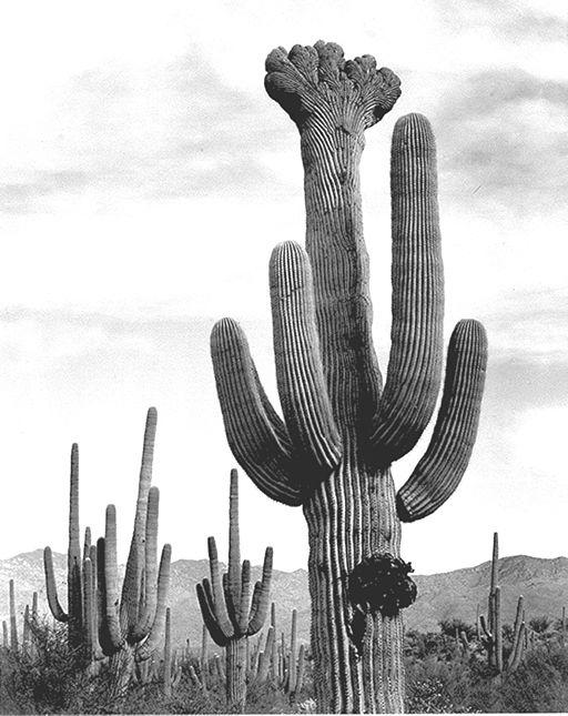 saguaro_cactus_crest