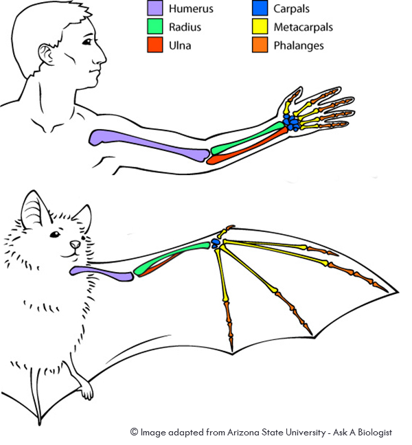 bat-wings