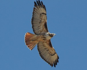 red-tailed-hawk-1712098_960_720
