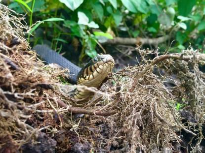 Cumberland Snake